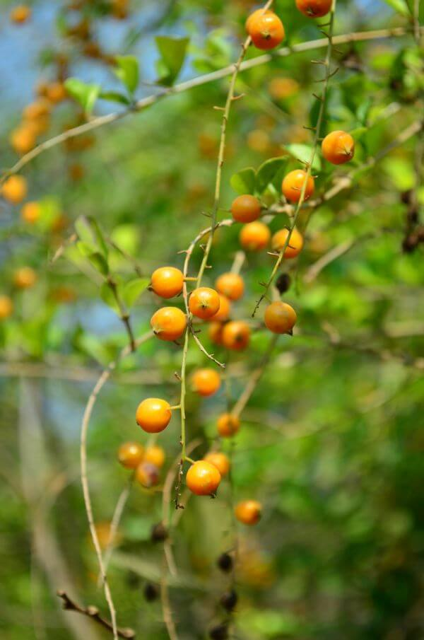 Small Orange Fruit Plant photo