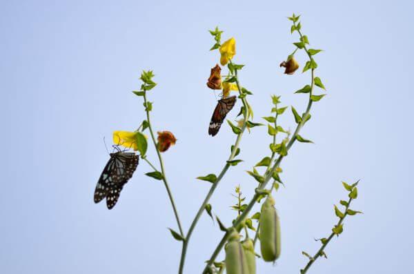Tiger Butterflies photo