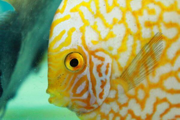 Aquarium Yellow Fish photo
