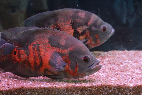 Orange Gray Fishes photo