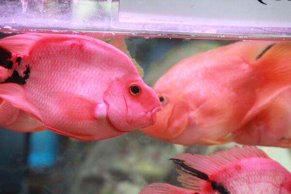 Pink Orange Fish photo