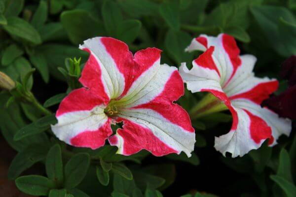 Red White Flowers photo