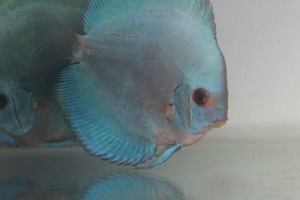 Silver Fish Close photo