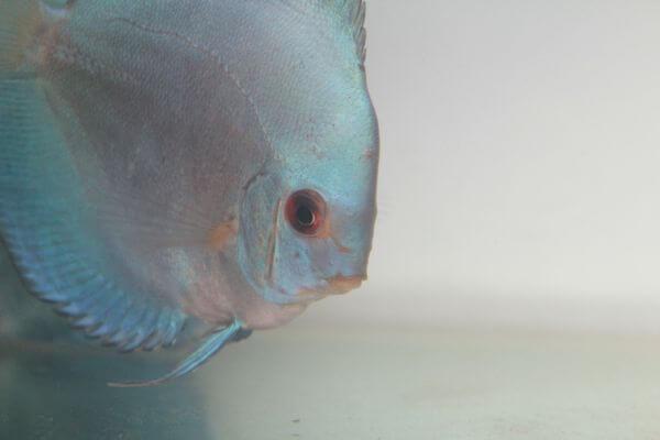 Silver White Fish photo