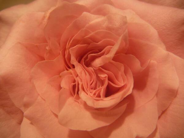 Orange Rose photo