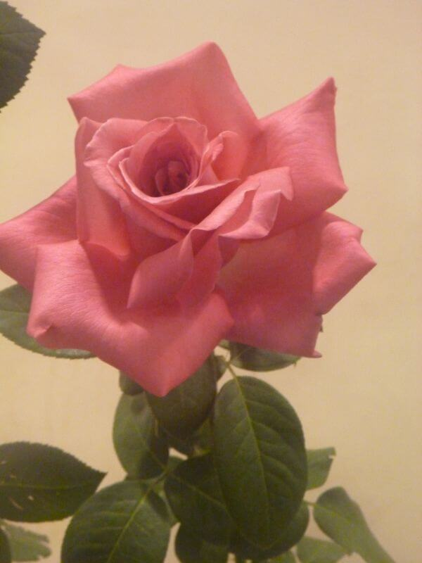 Pink Rose With Leaves photo