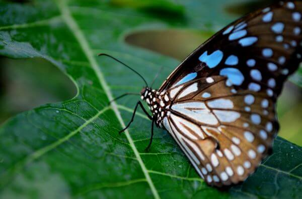 Beautiful Blue Tiger Butterfly photo