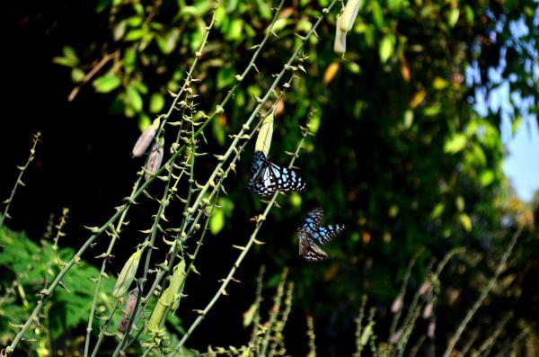 Blue Tiger Butterflies photo