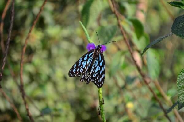 Blue Tiger Butterfly Beauty photo