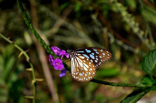 Blue Tiger Butterfly On Flower photo