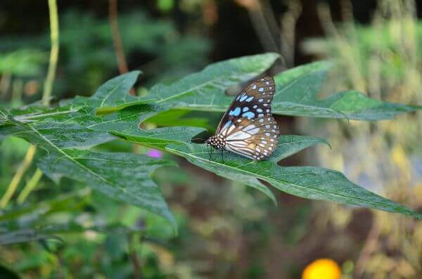 Blue Tiger Butterfly On Leaf 2 photo