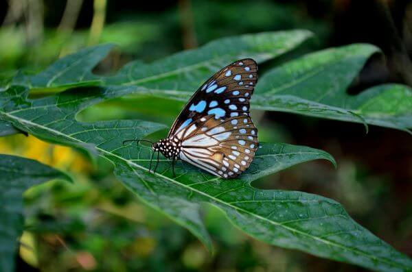 Blue Tiger Butterfly On Leaf 3 photo