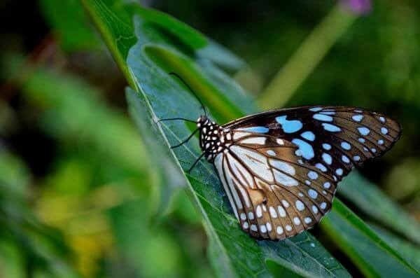 Blue Tiger Butterfly On Leaf 4 photo