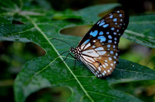 Blue Tiger Butterfly On Leaf 5 photo