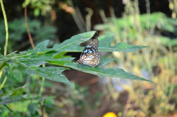 Blue Tiger Butterfly On Leaf photo