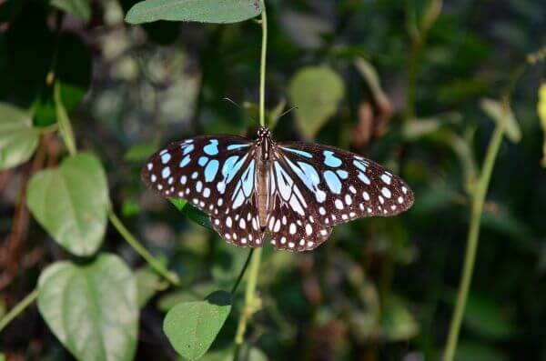 Blue Tiger Butterfly Open photo