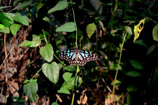 Butterfly Blue Tiger photo