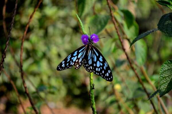 Purple Flower Butterfly Blue Tiger 2 photo