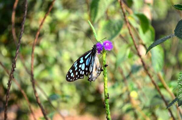 Purple Flower Butterfly Blue Tiger photo