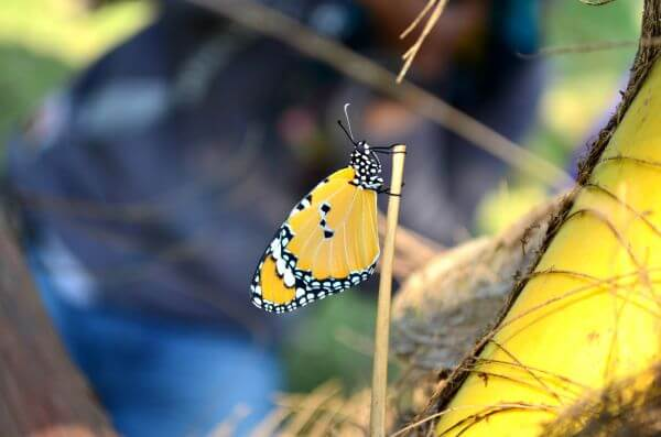 Tiger Butterfly Plant photo