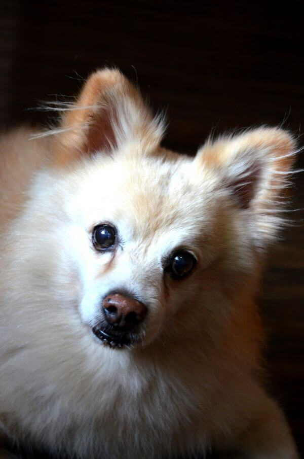 Cute Pomeranian photo