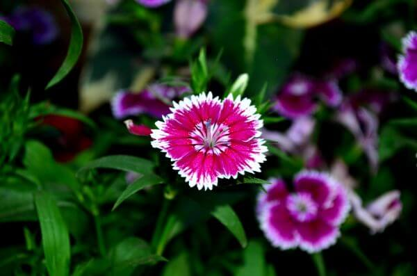Dianthus photo