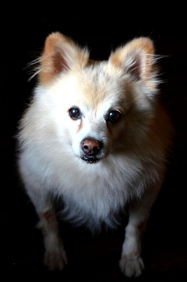 Pomeranian Dog Breed photo