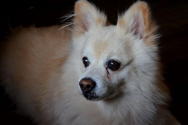 Pomeranian Dog Looking photo