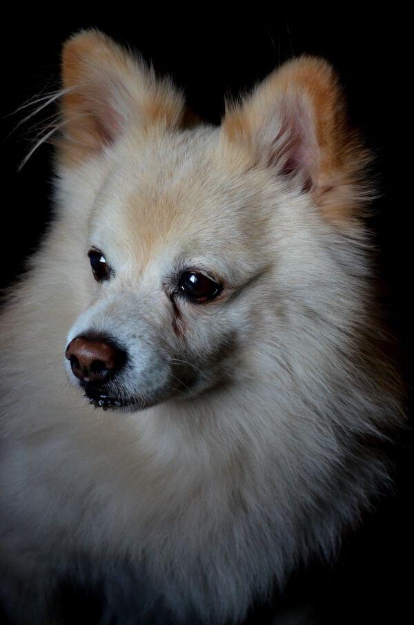 Pomeranian photo