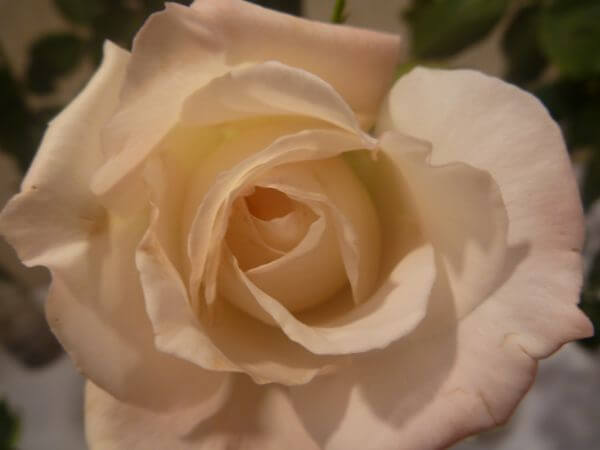 Soft Rose photo