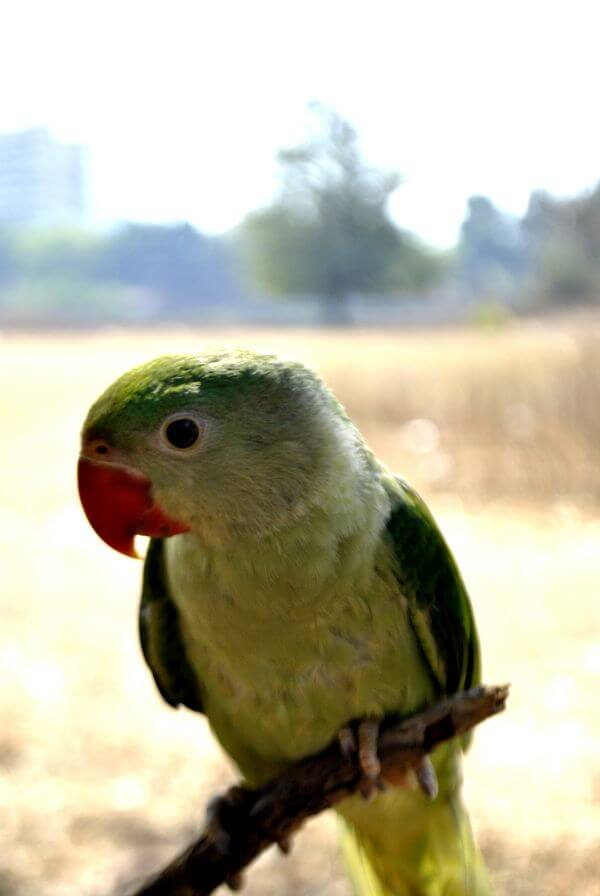 Green Parrot 3 photo