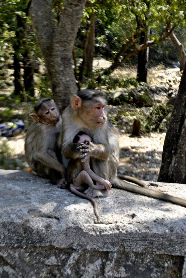 Monkey Mother Babies photo