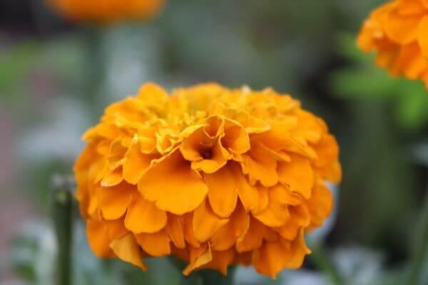 Beautiful Marigold Flower photo