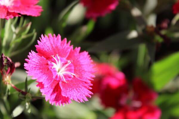 Beautiful Pink Flower Closeup photo