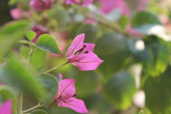 Closeup Of Pink Leaf Flower photo