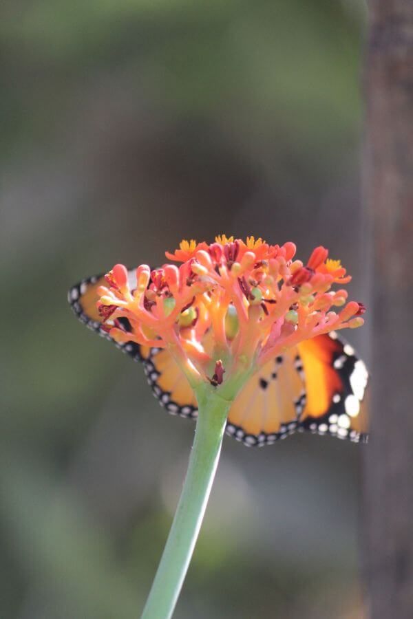 Orange Butterfly Flower Closeup photo