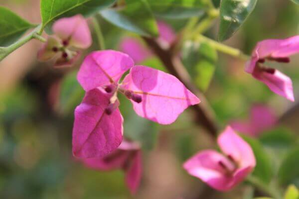 Pink Leaves Flower Closeup photo
