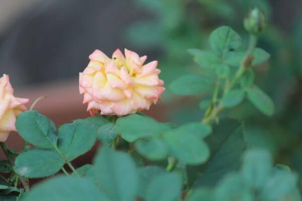 Pink Yellow Round Flower photo