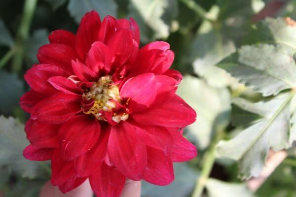Red Flower Closeup photo