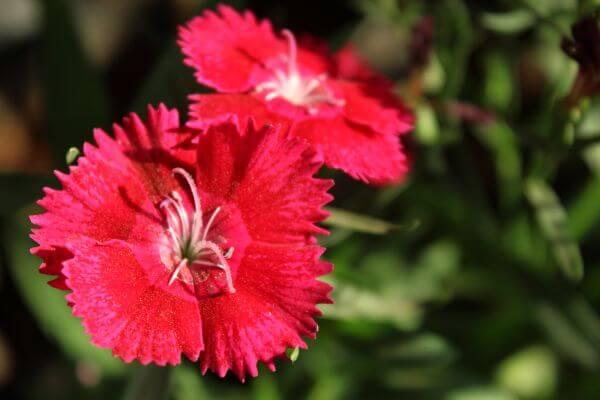 Reddish Pink Flower Closeup photo