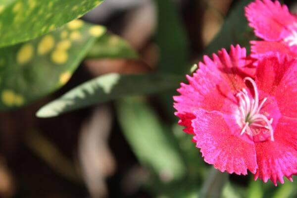 Reddish Pink Flower Petals photo