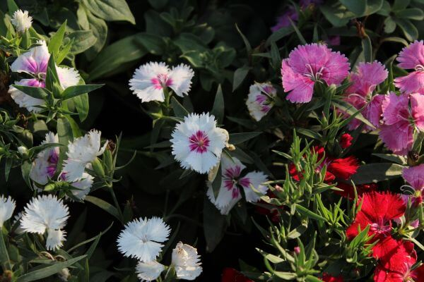 White And Pink Flowers In Garden photo