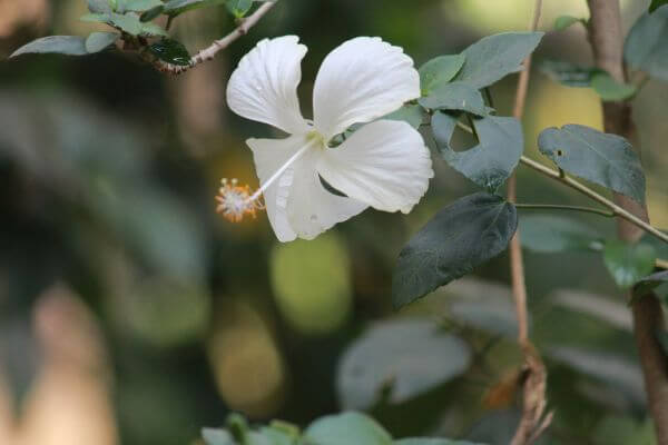 White Shoe Flower photo