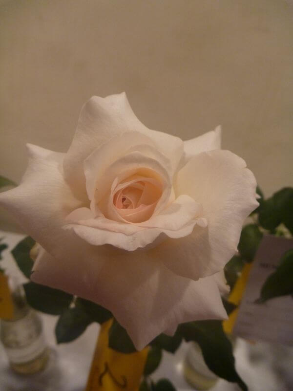 White Cream Rose photo