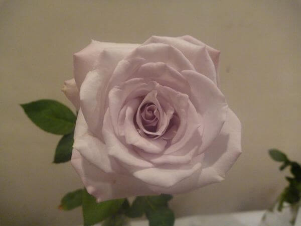 White Pink Rose photo