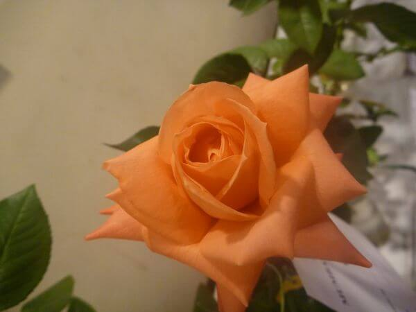 Yellow Orange Flower Rose photo
