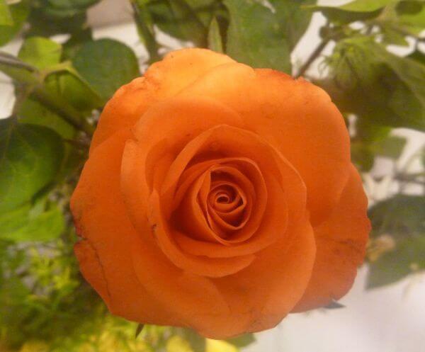 Yellow Orange Rose photo