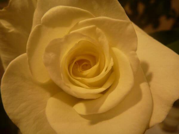 Yellow Rose Closeup photo
