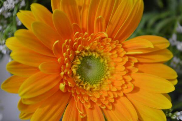 Yellow Orange Daisy 2 photo