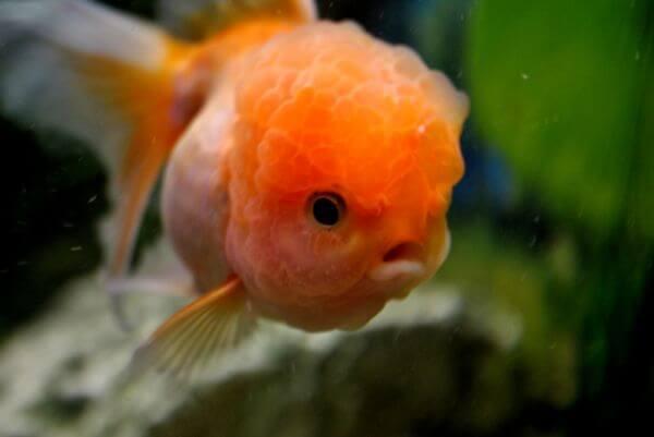 Fish Orange Gold photo